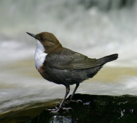Eurasian_White-fronted_Dipper,_C_cinclus