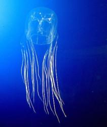 Medúza čtyřhranka smrtelná