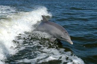 delfín skákavý 0178