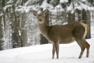 jelen v zimě 09032_1