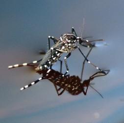 komár tygrovaný