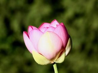 lotos indický - Rostislav Taraba
