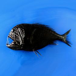 mořská ryba osel