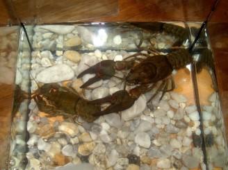 raci - živý rak v akváriu FROV