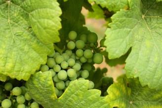 víno - hrozen - IMG_5546