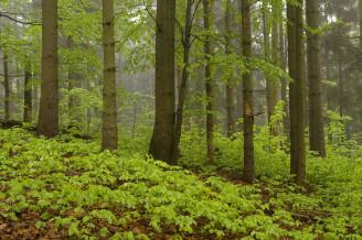 Bukový podrost ve smíšeném lese - Husí potok (Husí boudy, Strážné)