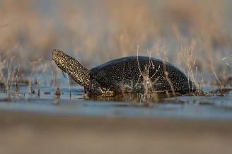 želva bahenní