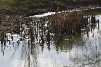 bahnitá voda a zbytky rákosí IMG_8739
