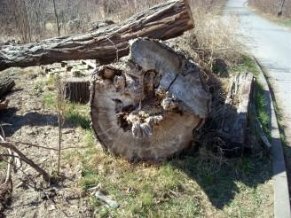 pokácený strom DSCN2278