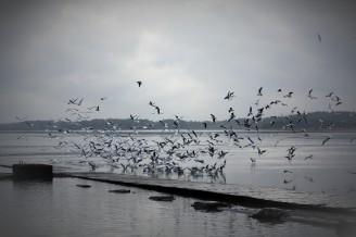 ptáci voda rybník Rožmberk - IMG_7977