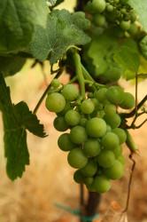 víno - hrozen - IMG_5550