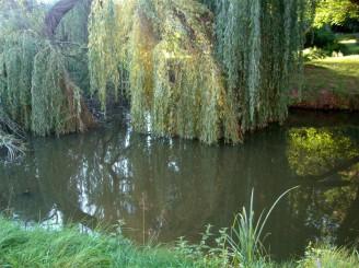 DSCN1881 vrba ve vodě