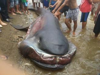 žralok velkoústý NBC