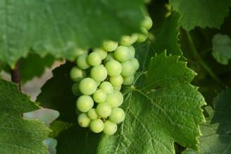víno - hrozen - IMG_5563