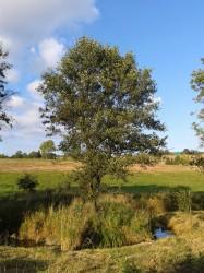 olše strom roku 2015