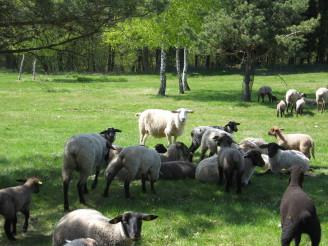 Ovce Zlobice