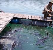 Pangasius-farm-Vietnam-Big-Fish-article