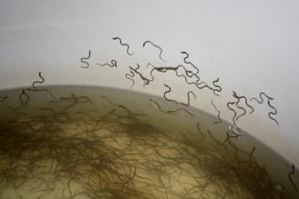 intenzivní chov ryb - monté - malí úhoři - IMG_2754