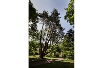 strom roku 2014 - Opatovická borovice