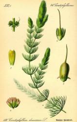 s_800px-illustration-ceratophyllum-demersum0