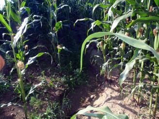 P8200043 kukuřice