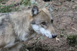 Vlk - Srní Nina Havlová