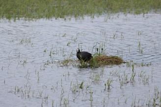 lyska hnízdo rybník Katlov - IMG_7956