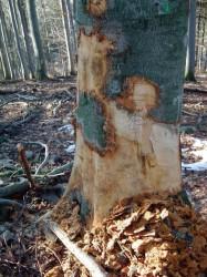 ČIŽ - nelegální kácení stromů