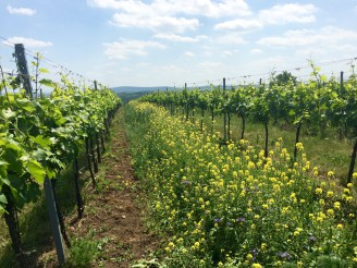 ekologická vinice - foto_1_ukazka_meziřadí_ekologicke_vinice_archiv_Ekovin