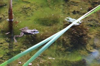 žába - skokan hnědý a zelený - IMG_8768