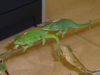 Chameleoni - ČIŽP