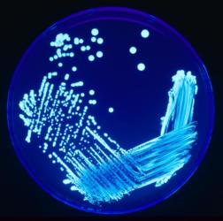 Legionella wikipedie