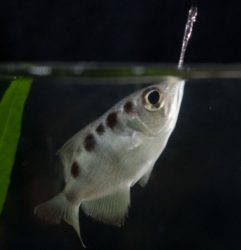 střikoun - ryba - rozeznávající lidské obličeje