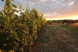 víno - vinice - východ Slunce - - IMG_0228