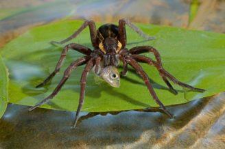 pavouk-lov-ryb