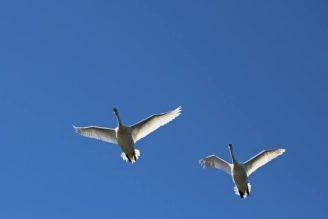 ptak-ptaci-husy-letici-kotvice