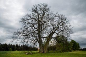 strom-roku-2016-lipa-na-lipce