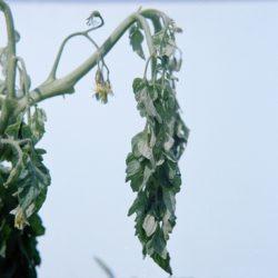projevy-napadeni-ralstonia-solanacearum