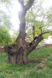 Tisíciletý dub v Lechovicích