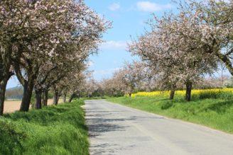 alej krajina - jaro - kvetoucí stromy - IMG_8261