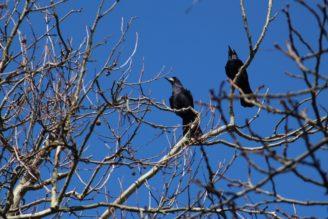 vrány - ptáci strom - IMG_2471