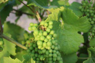 víno - hrozen nezralý - IMG_9621
