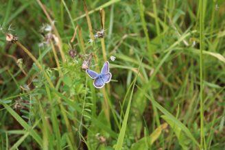 louka motýl modrásek - IMG_7556