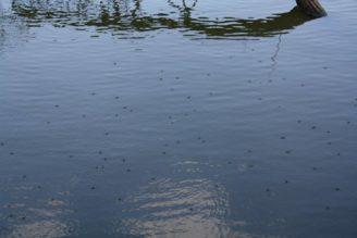 voda - vodoměrky - hladina rybník