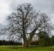 strom roku 2016 Lípa na Lipce