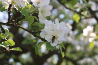 včela - ovocný strom - IMG_8346