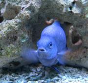 akvarijní ryba