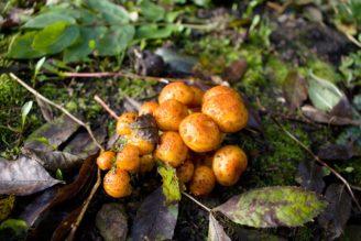 houby václavka - IMG_9183