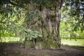 nejstarší strom v republice - Vilémovický tis