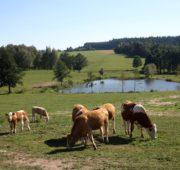 skot - rybník - krajina - ASZ - IMG_6829